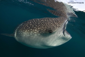 Whale shark with reflection